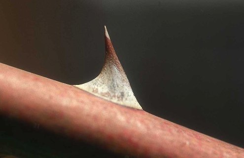 A rose thorn got stuck in my arm and broke the skin? | Foilball.
